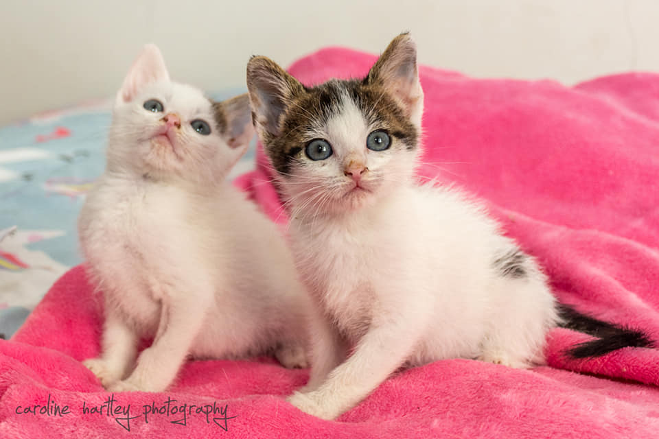 Two rescue kittens from The Outreach Program sitting on pink blanket