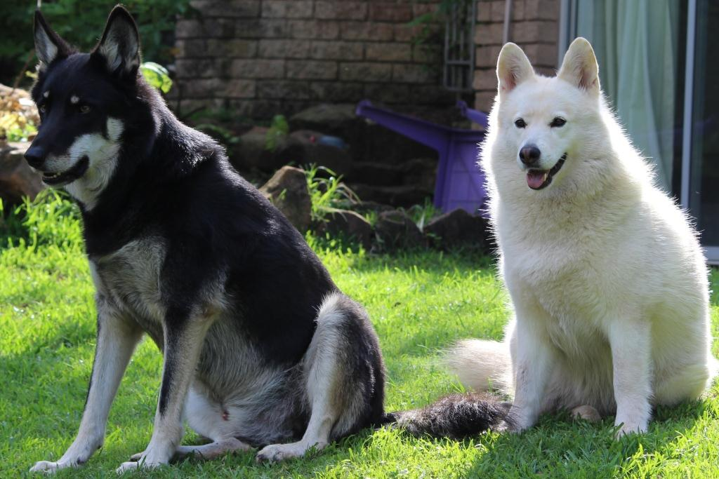 Two large dogs undergoing therapy at Functional and Holistic Canine Therapy